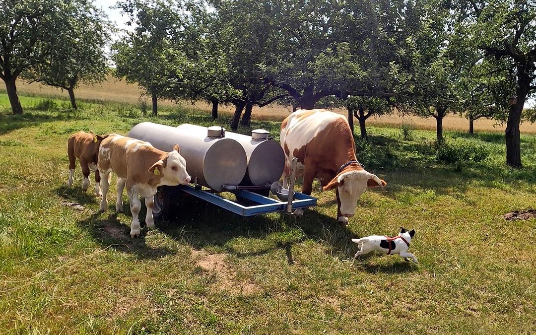 Ländliche Idylle - Jack und Kühe