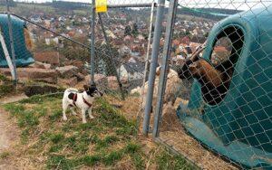 Jack und die Ziegen